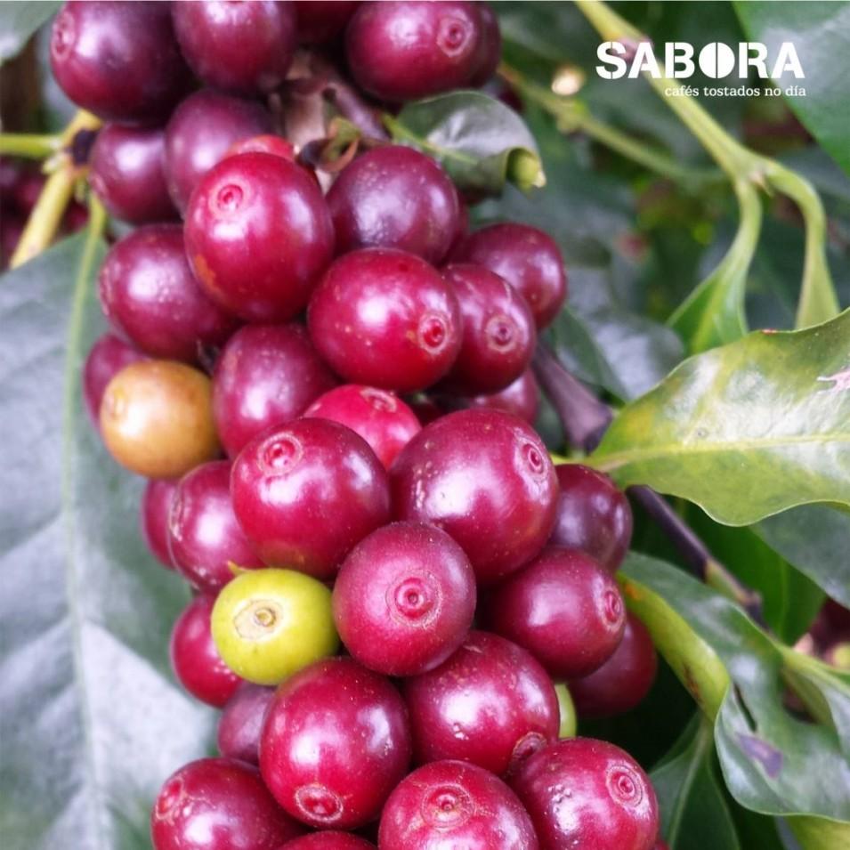Cereixa de café de huila na cafeeira