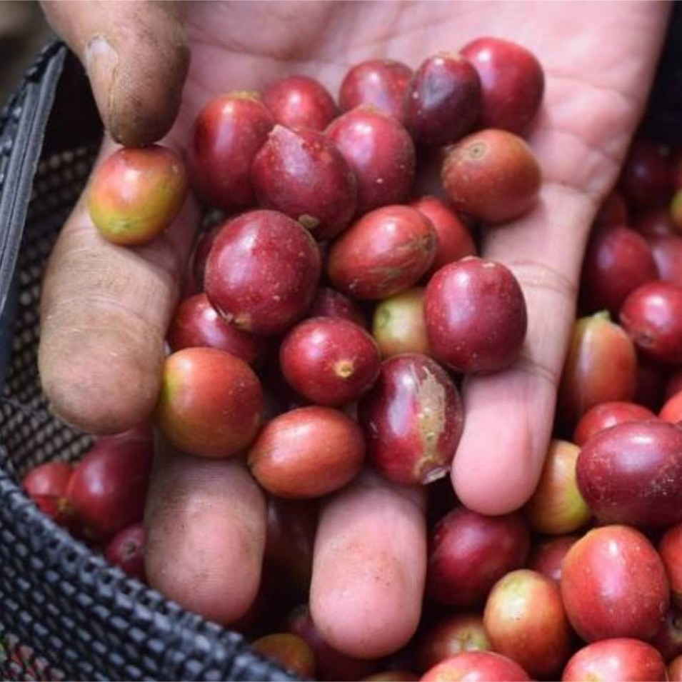 Selective coffee picking by hand