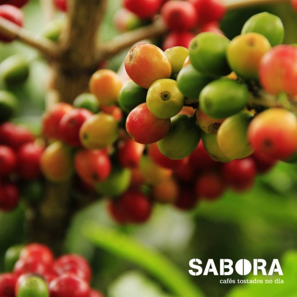 Cafeeira cos seus froito