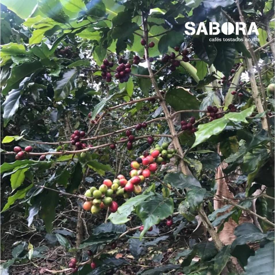Café cultivado en finca.