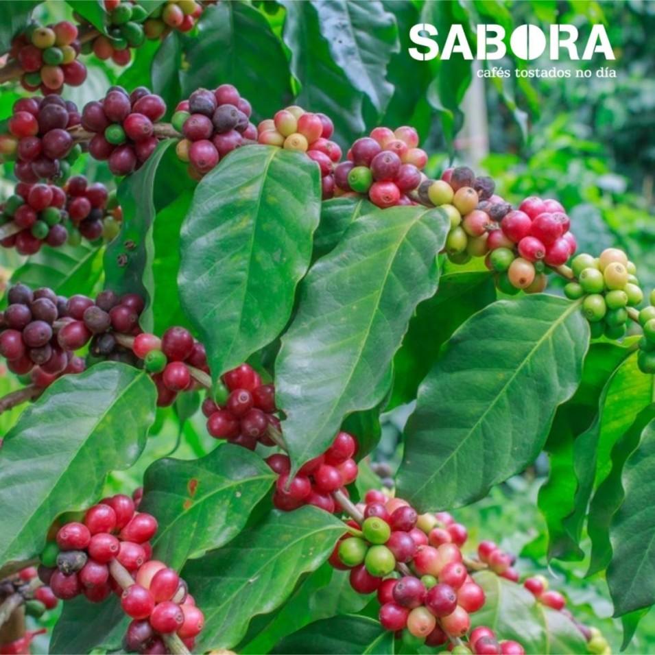 Organic coffee grown in the shade