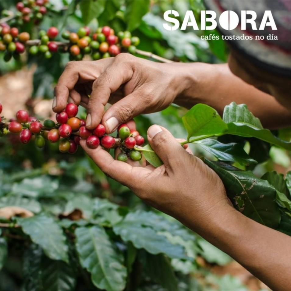 Mujer trabaja en la recogida manual de cafés orgánicos