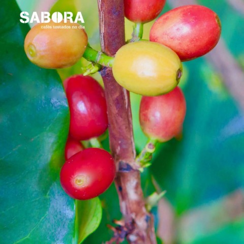 Cerezas de café a la sombra