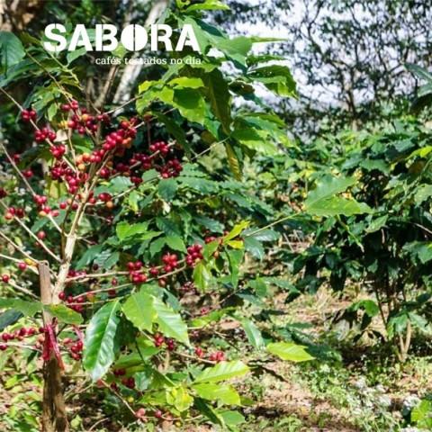 Cafetal de Café ecológico cultivado bajo sombra