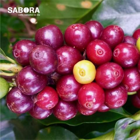 Café sostenible cultivado a la sombra.